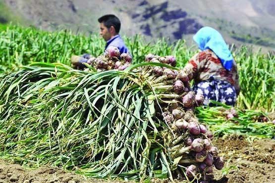 پیش بینی برداشت 46 هزار تن سیر از مزارع استان همدان