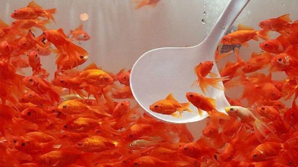 دست زدن به ماهی های نوروزی ممنوع