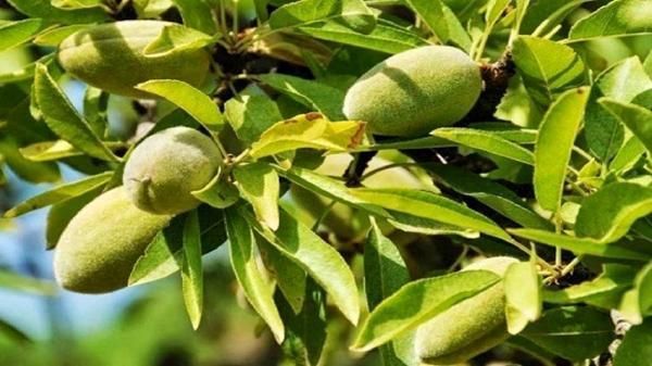 چقدر میوه بخوریم که برایمان مفید باشد ، چغاله بادام داخل میوه ها نیست !
